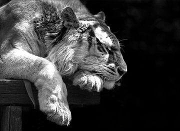 Bengaalse tijger slaapt. van