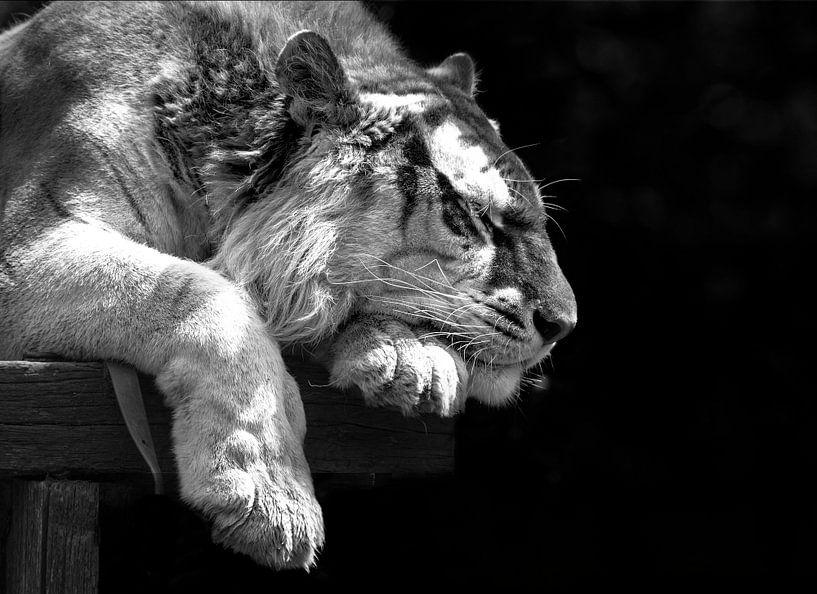 Bengaalse tijger slaapt. von Michar Peppenster