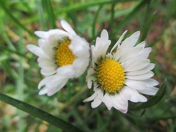 Gänseblume als Zwillinge von Gerold Dudziak