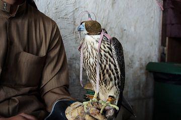 Fauconnier avec faucon à Doha, Qatar sur iPics Photography