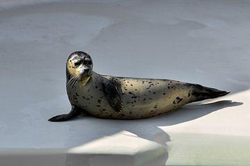 Zeehond van Marcel Pietersen