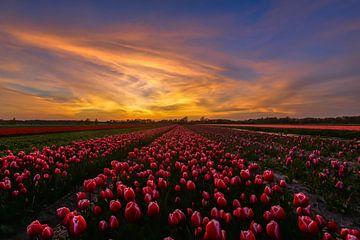Coucher de soleil sur un champ de tulipes sur Carla Matthee
