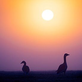 Grauwe ganzen bij zonsopkomst van Sam Mannaerts Natuurfotografie