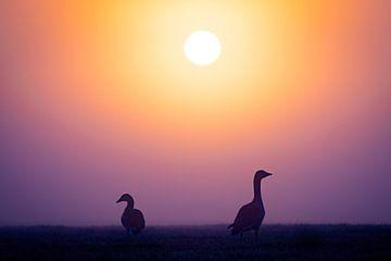 Les oies grises au lever du soleil