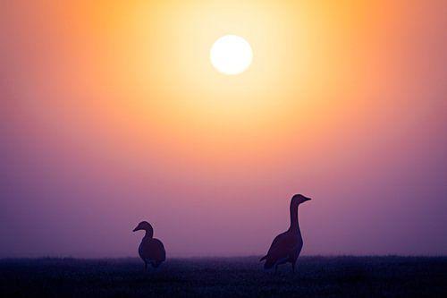 Grauwe ganzen bij zonsopkomst