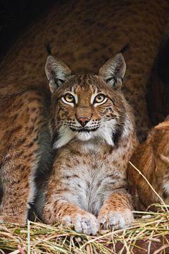 Een mooie lynx (grote kat) met mooie ogen en expressieve ogen rust op het gedroogde gras, een donker van Michael Semenov