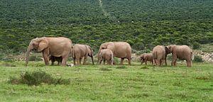 Kudde olifanten in Addo, Zuid Afrika