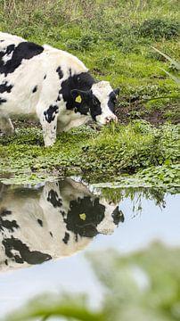 Koe in het water