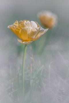 Bloeiende gele tulp in de 'mist' von Jenco van Zalk