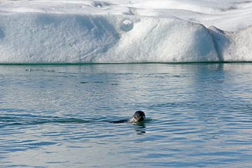 Zeehond in IJsland van Barbara Brolsma