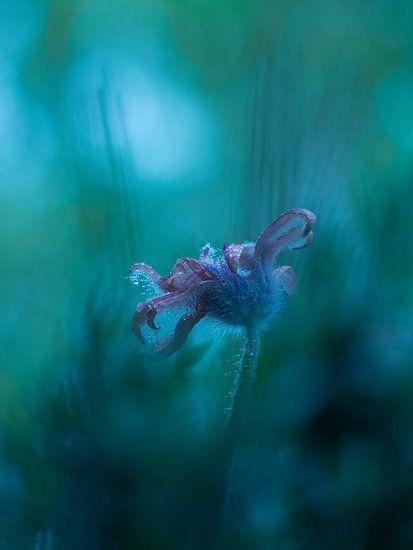 Wildemanskruid Bloem Pulsatilla vulgaris van bird bee flower and tree