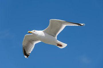 Zeevogel de Meeuw tegen een blauwe lucht sur Tonko Oosterink