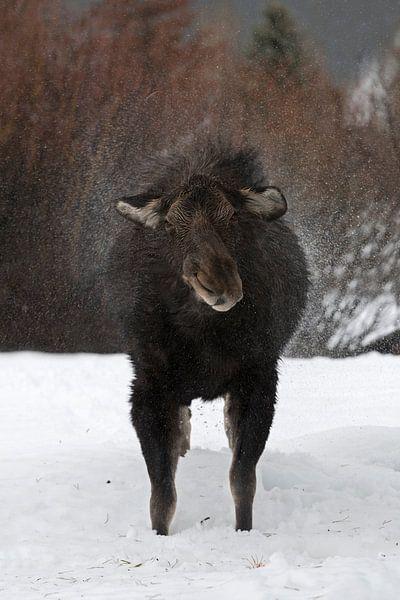 Moose ( Alces alces ) in winter, shaking off water van wunderbare Erde