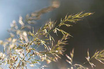Gras im Sonnenaufgang von Thomas Heitz