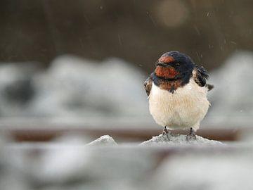 Zwaluw - Swallow - Avaler - Schlucken van Ben Kah