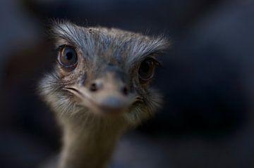 Baby Struisvogel van Anne Caroline Slump