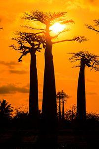 Vertikale Baobabs zonsondergang
