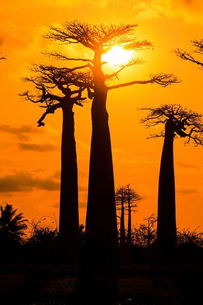 Vertikale Baobabs zonsondergang van Dennis van de Water