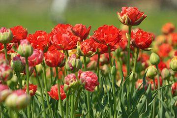tulpen von Georges Hoeberechts