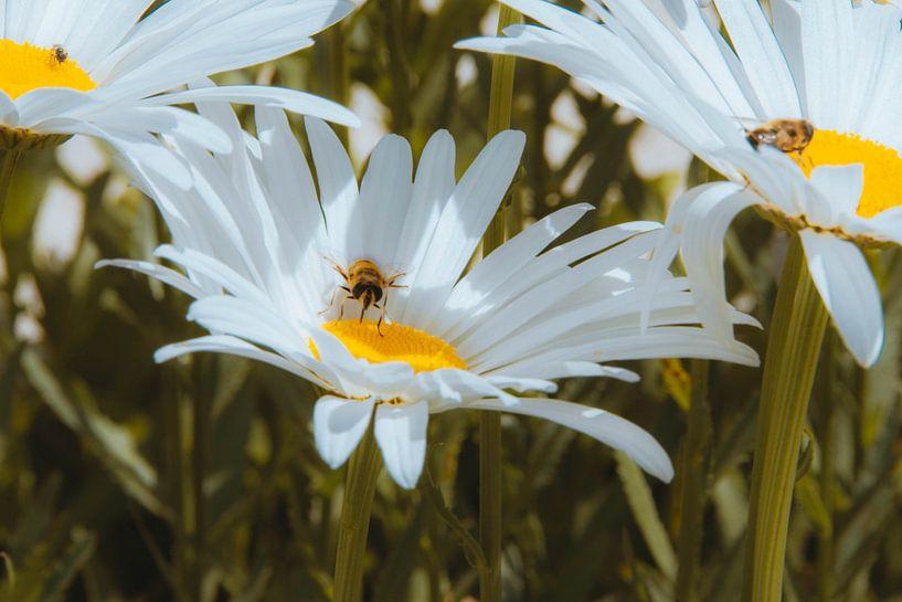 champ de fleurs sur Simen Crombez