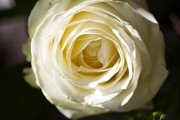 Witte Roos van Rijk van de Kaa