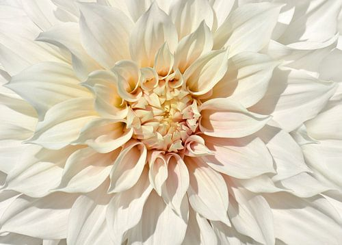 Dahlia white van Violetta Honkisz