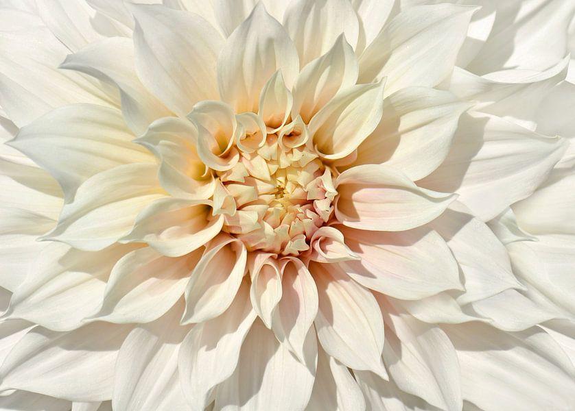 Dahlia white
