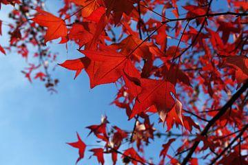 close up van rode herfstbladeren aan een boom von Georges Hoeberechts
