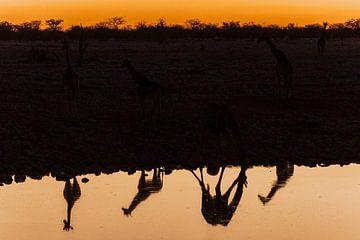 Namibia - Giraffen in der Abenddämmerung van Felix Brönnimann