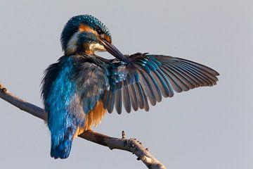 Preening Common Kingfisher von