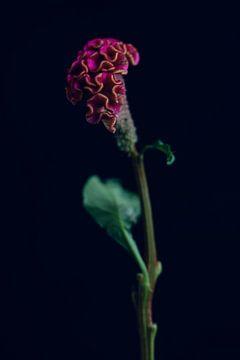Celosia bloem van Carla Van Iersel