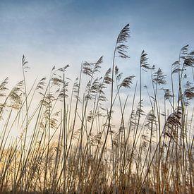 Rietpluimen bij zonsondergang van Mark Bolijn