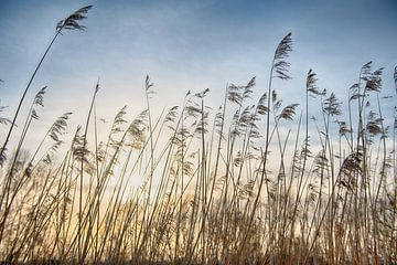 Les panaches de roseaux au coucher du soleil