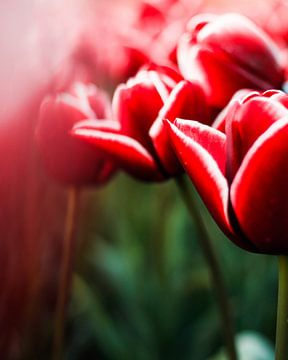 Flevolandse Tulpen van Han Holstein