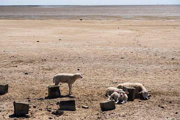 Schafe als Badegäste von Merijn Loch