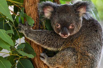Koala von Robert Styppa