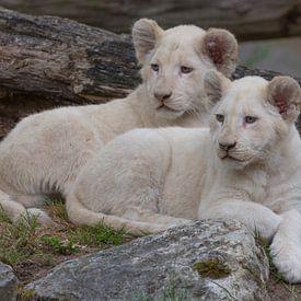 Welpen Afrikaanse leeuwen (Panthera leo) van Eric Wander