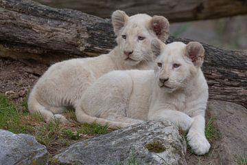 Welpen Afrikaanse leeuwen (Panthera leo)