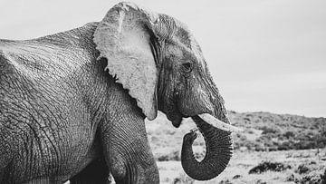 Afrikanischer Elefant von Dimitri Louwet
