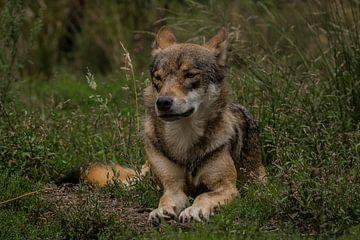 Wolf in seiner entspannten Position von miranda tijssen