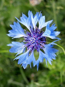 Blauwe korenbloem van richard de bruyn