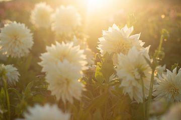 Große weiße Dahlienblüten in einem Feld bei Sonnenuntergang von Margriet Hulsker