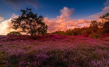 Blühende Heide 3 von Peter Heins