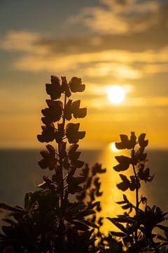silhouette van plant in ondergaande zon, IJsland van Jan Fritz