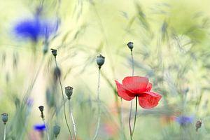 Klaproos en korenbloem