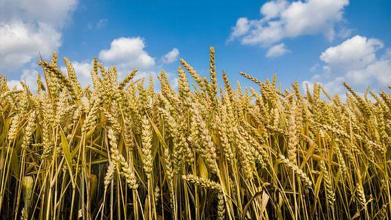 Wheat van rosstek ®