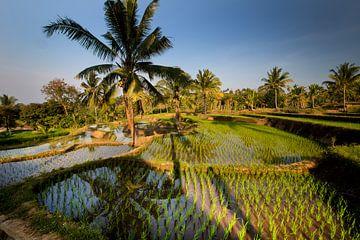 Rijstvelden op Lombok van Willem Vernes
