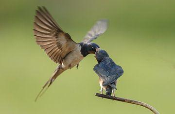 The barn swallow (Hirundo rustica) sur