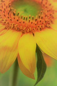 Sonnenblume sur Falko Follert