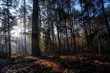 Sonnenstrahlen scheinen durch den Tau im Wald am frühen Morgen bei Sonnenaufgang, Zeist, Utrechtse H von John Ozguc
